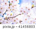 桜 花 春の写真 41456803