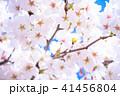 桜 花 開花の写真 41456804