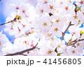 桜 花 春の写真 41456805