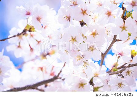 桜満開 41456805
