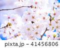 桜 花 春の写真 41456806