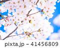 桜満開 41456809