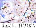 桜 花 春の写真 41456813