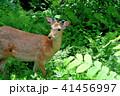 エゾシカ 動物 シカの写真 41456997