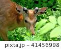 エゾシカ 動物 シカの写真 41456998