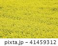 菜の花畑 41459312