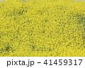 菜の花畑 41459317