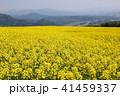 菜の花畑 41459337