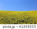 菜の花畑 41459355