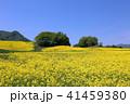 菜の花畑 41459380