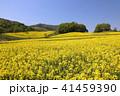 菜の花畑 41459390