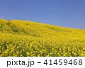 菜の花畑 41459468