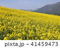 菜の花畑 41459473