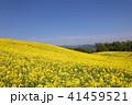 菜の花畑 41459521