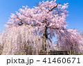 桜 枝垂れ桜 花の写真 41460671