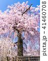 桜 枝垂れ桜 花の写真 41460708