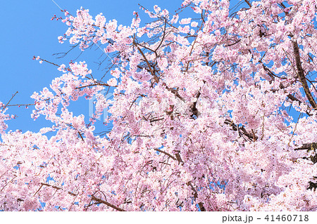 《京都府》円山公園・しだれ桜 41460718