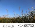 すすき 植物 青空の写真 41465732