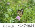 昆虫 ツマグロヒョウモン 蝶の写真 41474084