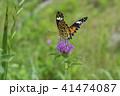 昆虫 ツマグロヒョウモン 蝶の写真 41474087