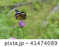 昆虫 ツマグロヒョウモン 蝶の写真 41474089