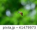 鳥 野鳥 カワセミの写真 41479973