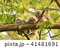 エゾフクロウの子供 41481691
