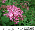 シモツケ 花 アップの写真 41488395