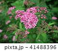 シモツケ 花 小花の写真 41488396
