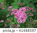 シモツケ 花 小花の写真 41488397