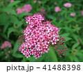 シモツケ 花 アップの写真 41488398