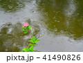 紫陽花 アジサイ 花の写真 41490826