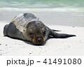 ガラパゴス諸島 動物 哺乳類の写真 41491080