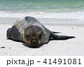 ガラパゴス諸島 動物 哺乳類の写真 41491081