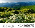 アジサイ咲く夏の霧降高原の朝 41496975
