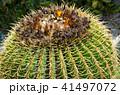 さぼてん サボテン 多肉植物の写真 41497072
