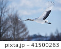 タンチョウ 鶴 飛ぶの写真 41500263