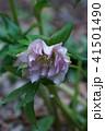 ヘレボルス ヘレボラス ティンピコティの写真 41501490