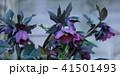 ヘレボルス ヘレボラス レンテンローズの写真 41501493