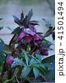 ヘレボルス ヘレボラス レンテンローズの写真 41501494