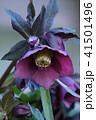 ヘレボルス ヘレボラス レンテンローズの写真 41501496