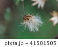 高野箒 コウヤボウキ 花のあと 41501505