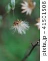 高野箒 コウヤボウキ 花のあと 41501506