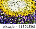 フラワー 花 パンジーの写真 41501598
