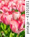 チューリップ畑 チューリップ 花の写真 41501851