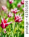 チューリップ 花 ユリ科の写真 41501956