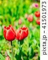 チューリップ 花 ユリ科の写真 41501973