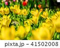 チューリップ畑 チューリップ 花の写真 41502008
