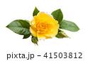 黄色い 黄 黄色の写真 41503812