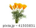 フラワー 花 ポピーの写真 41503831